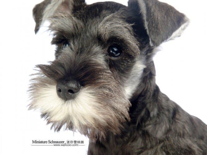 Miniature-Schnauzer-puppy-photo-83480_wallcoo.com
